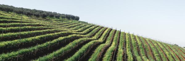 Les vignobles sud-africains
